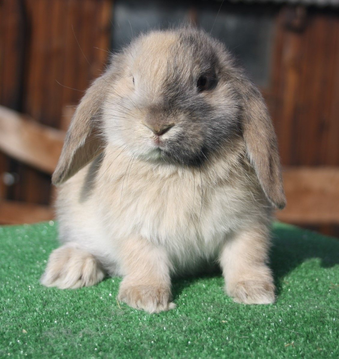 Beautiful baby harlequin mini lop doe for sale ...