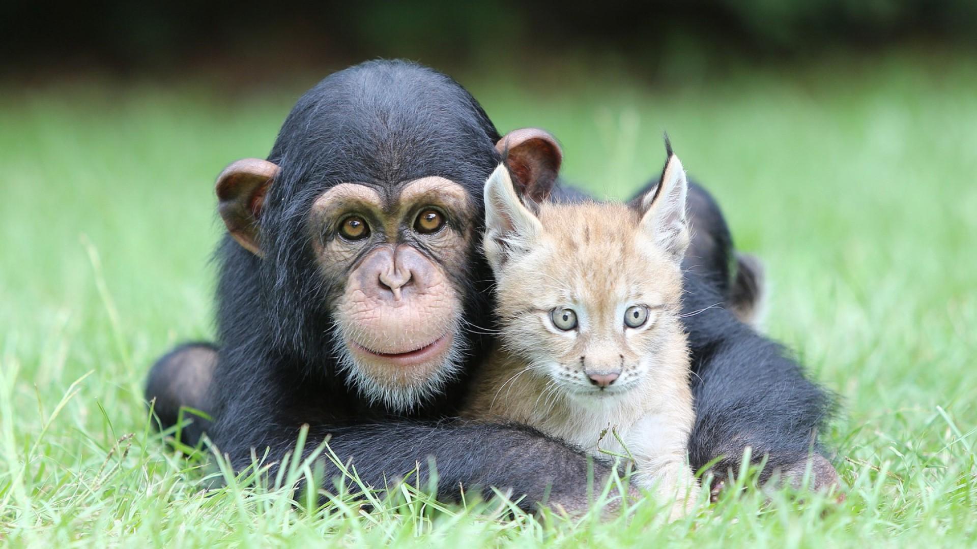 chimpanzees, Lynx, Animals, Nature, Baby Animals, Face ...