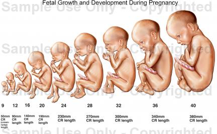PREGNANT: Stages of Pregnancy Development