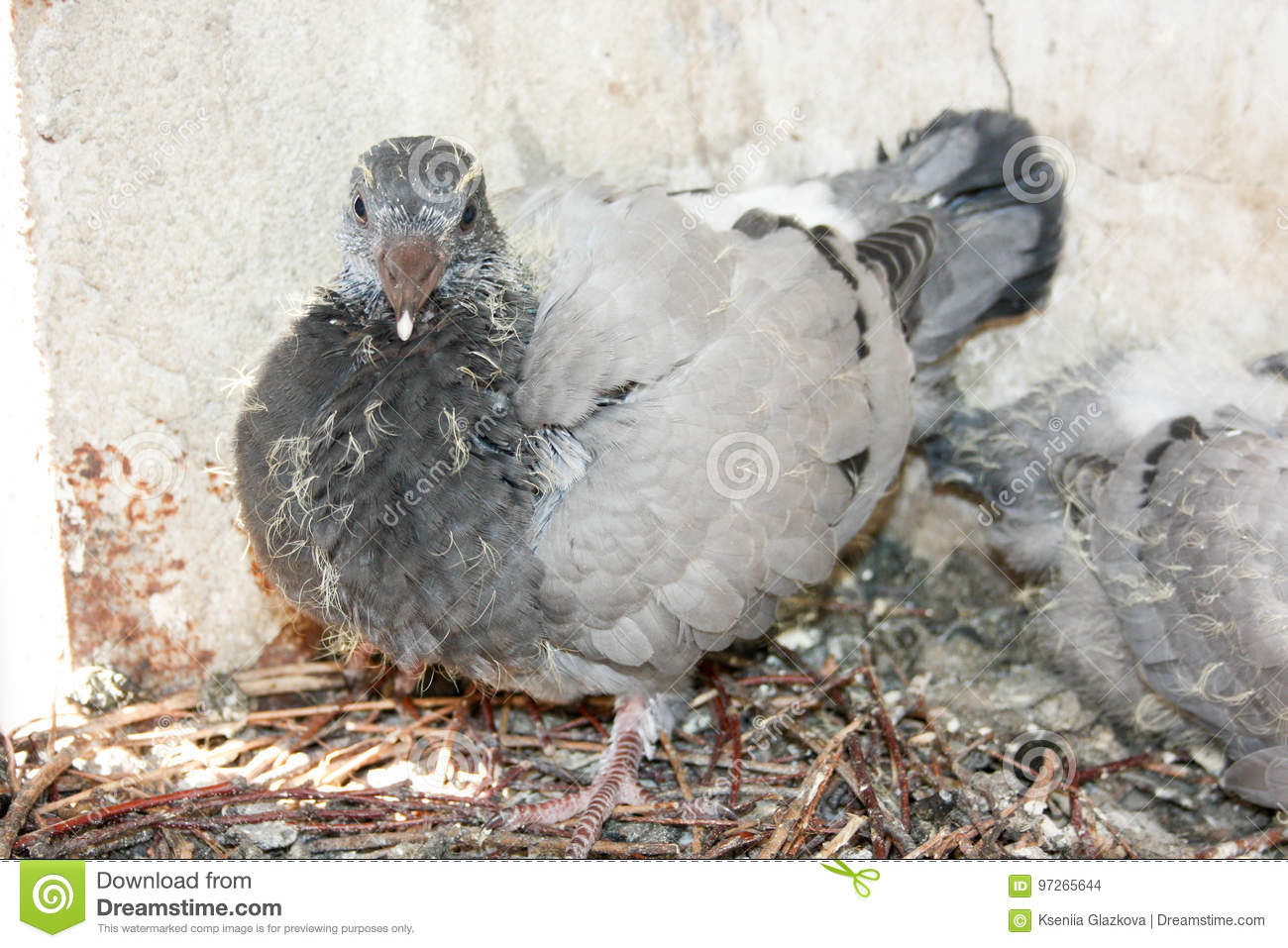 Bird Baby Pigeon In The Nest With His Stock Photo - Image ...