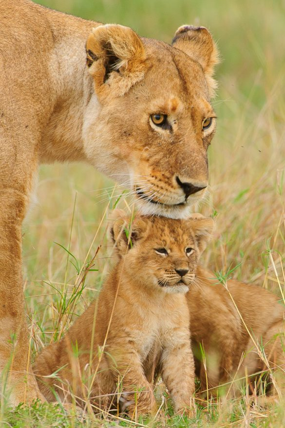 10 Most Amazing Pictures of Cute Lion cubs