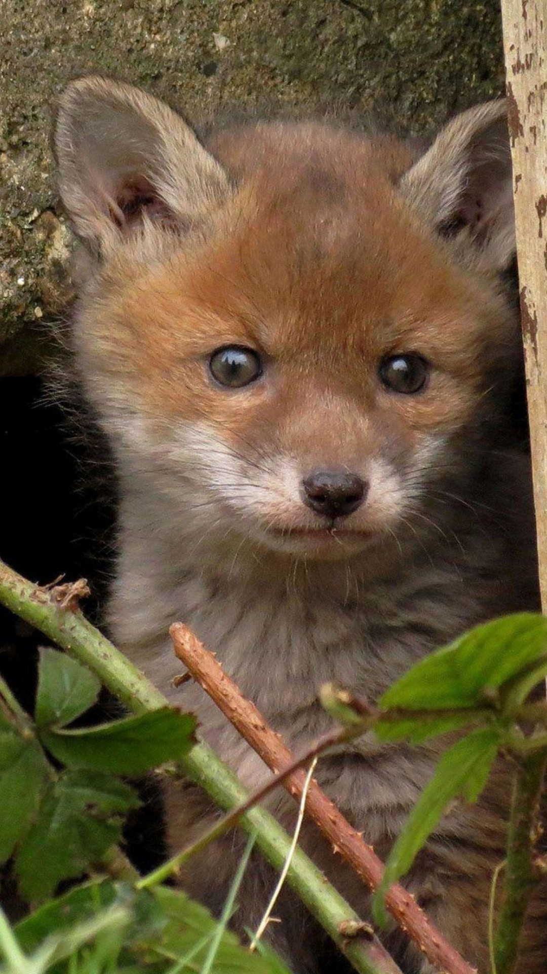 Animals Wallpapers a cute baby fox wallpaper background ...